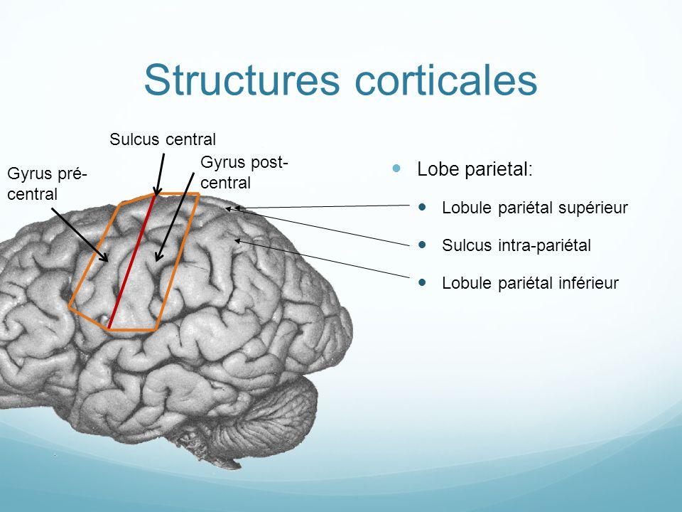 Structures corticales Lobe parietal: Lobule pariétal supérieur Sulcus intra-pariétal Lobule pariétal inférieur Sulcus central Gyrus pré- central Gyrus