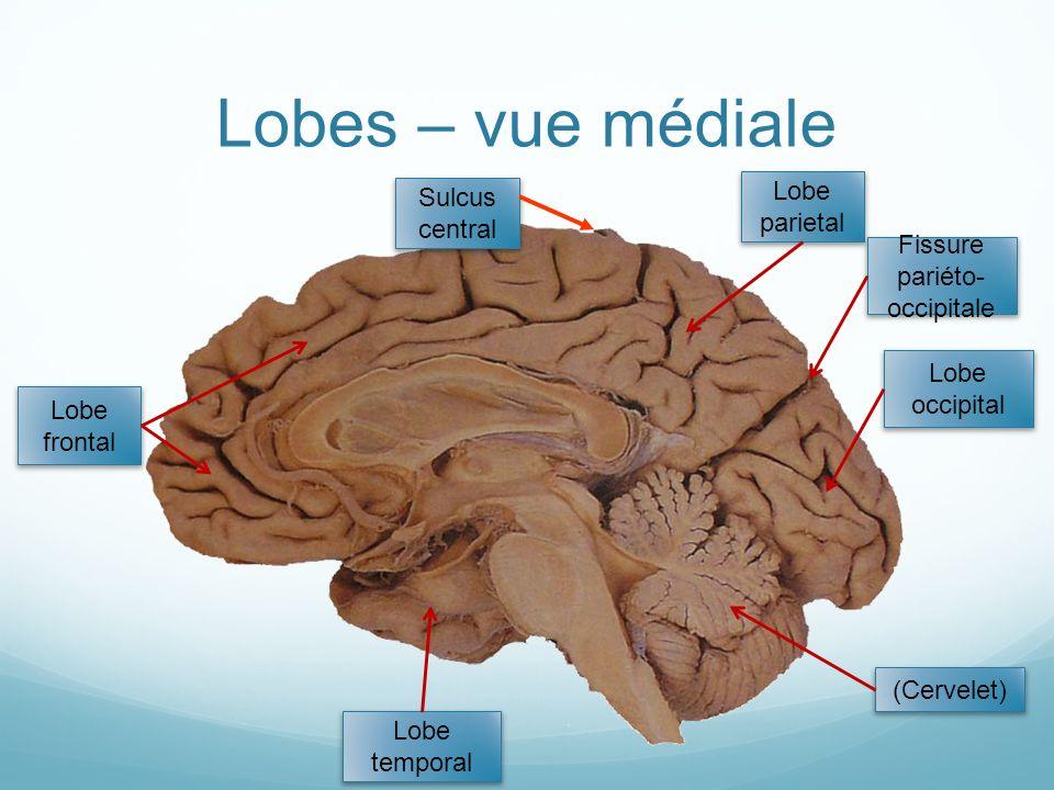 Lobes – vue médiale (Cervelet) Lobe occipital Lobe parietal Lobe temporal Lobe frontal Sulcus central Fissure pariéto- occipitale