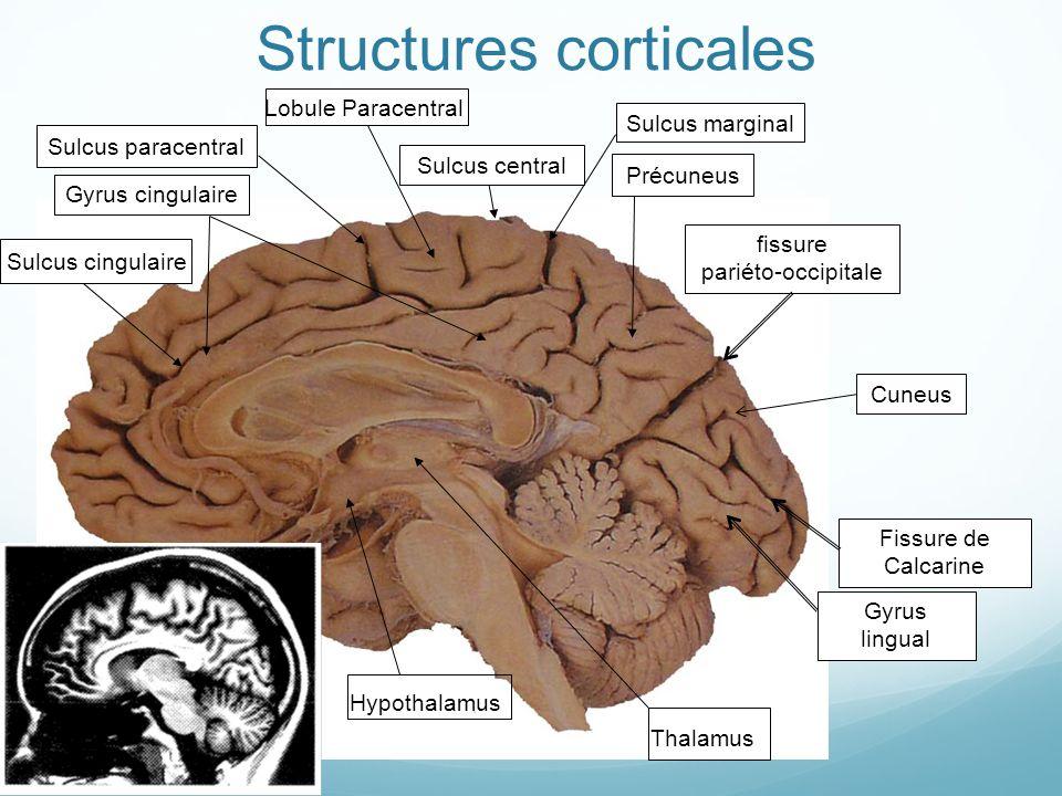 Structures corticales fissure pariéto-occipitale Fissure de Calcarine Cuneus Gyrus lingual Précuneus Lobule Paracentral Sulcus cingulaire Sulcus margi