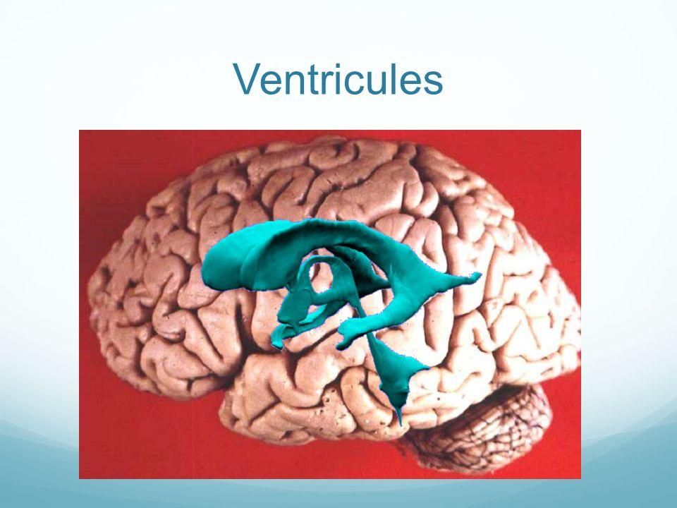 Ventricules