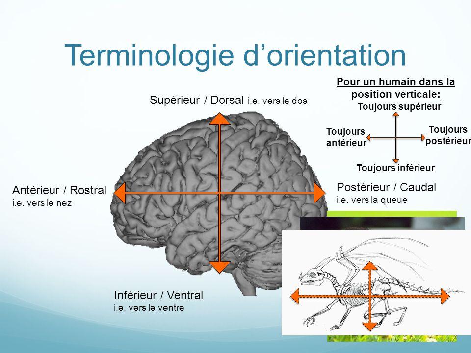 Terminologie dorientation Supérieur / Dorsal i.e. vers le dos Inférieur / Ventral i.e. vers le ventre Antérieur / Rostral i.e. vers le nez Postérieur