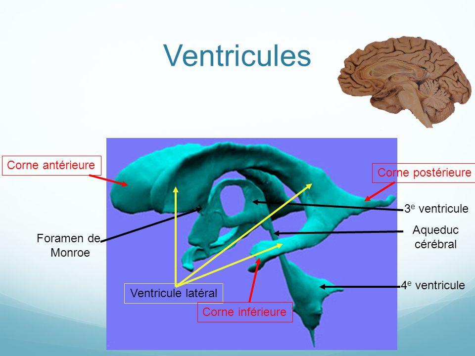 4 e ventricule Aqueduc cérébral 3 e ventricule Foramen de Monroe Ventricule latéral Corne antérieureCorne postérieure Corne inférieure