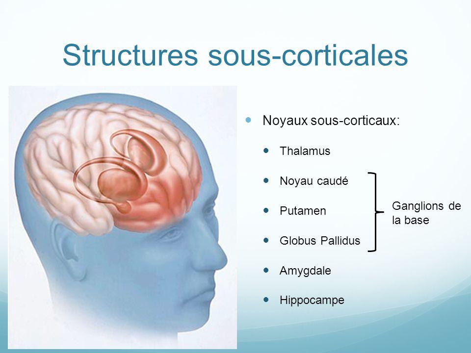 Structures sous-corticales Noyaux sous-corticaux: Thalamus Noyau caudé Putamen Globus Pallidus Amygdale Hippocampe Ganglions de la base