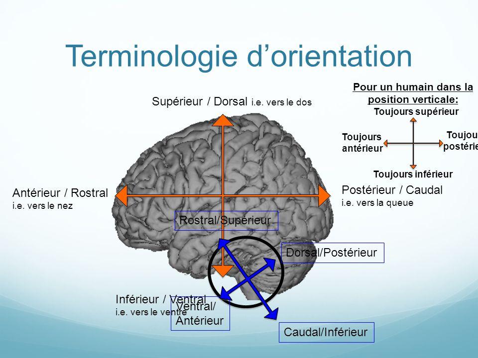 Terminologie dorientation Ventral/ Antérieur Caudal/Inférieur Rostral/Supérieur Dorsal/Postérieur Supérieur / Dorsal i.e.