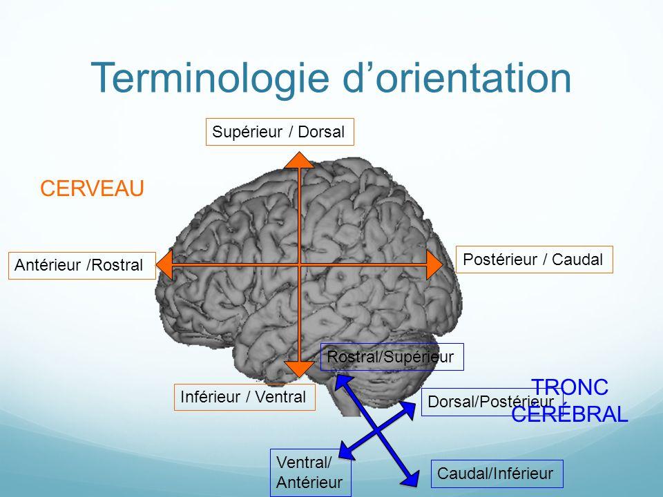 Terminologie dorientation Supérieur / Dorsal Inférieur / Ventral Antérieur /Rostral Postérieur / Caudal Ventral/ Antérieur Caudal/Inférieur Rostral/Su