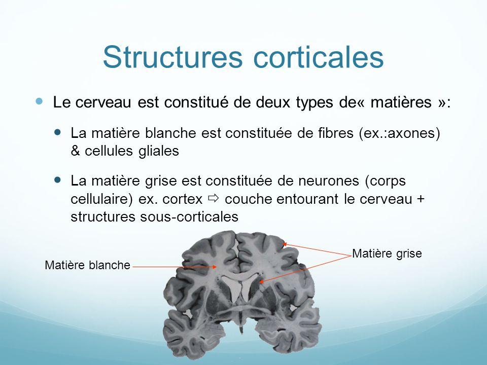 Structures corticales Le cerveau est constitué de deux types de« matières »: La matière blanche est constituée de fibres (ex.:axones) & cellules gliales La matière grise est constituée de neurones (corps cellulaire) ex.