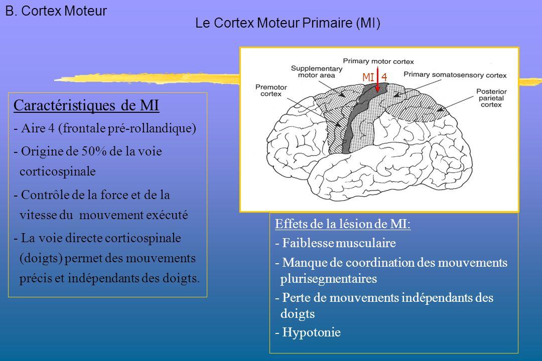 Caractéristiques de MI - Aire 4 (frontale pré-rollandique) - Origine de 50% de la voie corticospinale - Contrôle de la force et de la vitesse du mouvement exécuté - La voie directe corticospinale (doigts) permet des mouvements précis et indépendants des doigts.