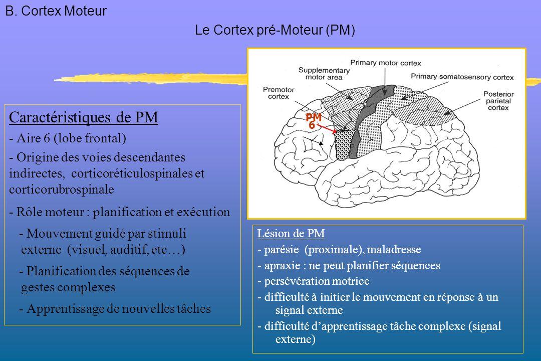 Caractéristiques de PM - Aire 6 (lobe frontal) - Origine des voies descendantes indirectes, corticoréticulospinales et corticorubrospinale - Rôle moteur : planification et exécution - Mouvement guidé par stimuli externe (visuel, auditif, etc…) - Planification des séquences de gestes complexes - Apprentissage de nouvelles tâches Lésion de PM - parésie (proximale), maladresse - apraxie : ne peut planifier séquences - persévération motrice - difficulté à initier le mouvement en réponse à un signal externe - difficulté dapprentissage tâche complexe (signal externe) Le Cortex pré-Moteur (PM) PM 6 B.
