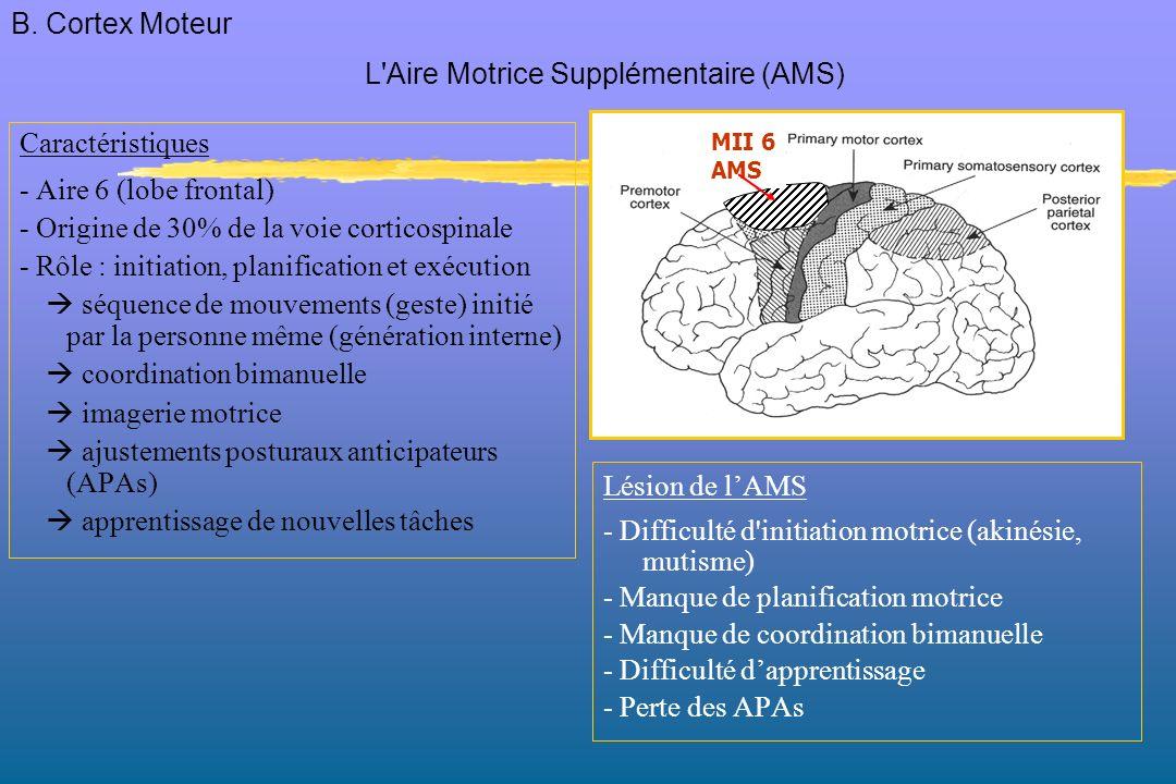 Caractéristiques - Aire 6 (lobe frontal) - Origine de 30% de la voie corticospinale - Rôle : initiation, planification et exécution séquence de mouvements (geste) initié par la personne même (génération interne) coordination bimanuelle imagerie motrice ajustements posturaux anticipateurs (APAs) apprentissage de nouvelles tâches Lésion de lAMS - Difficulté d initiation motrice (akinésie, mutisme) - Manque de planification motrice - Manque de coordination bimanuelle - Difficulté dapprentissage - Perte des APAs L Aire Motrice Supplémentaire (AMS) MII 6 AMS B.