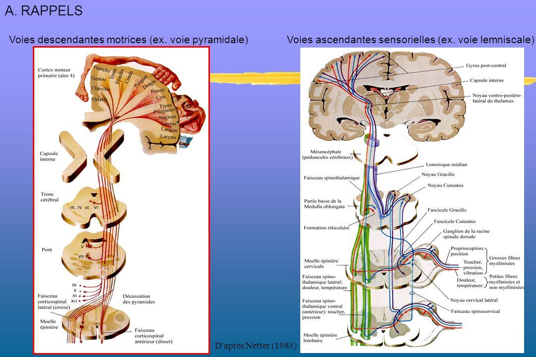 Tact/proprioception/sens vibratoire Douleur/températureProprioception Voies lemniscales et extra-lemniscales ascendantes = Perception 3 neurones (lemniscale) 3 neurones (extra-lemniscale)2 neurones (extra-lemniscale) Ex: FNM, OTG A.