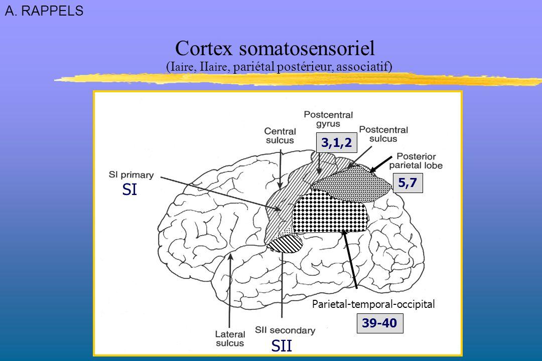 SI SII 5,7 3,1,2 Parietal-temporal-occipital 39-40 Cortex somatosensoriel (I aire, II aire, pariétal postérieur, associatif) A.