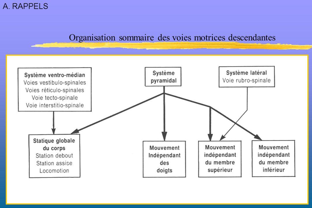 Organisation sommaire des voies motrices descendantes A. RAPPELS