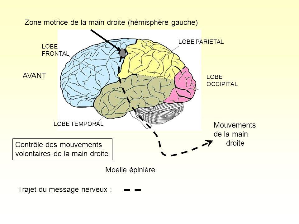 LOBE PARIETAL LOBE OCCIPITAL LOBE FRONTAL LOBE TEMPORAL Zone motrice de la main droite (hémisphère gauche) Mouvements de la main droite Moelle épinièr
