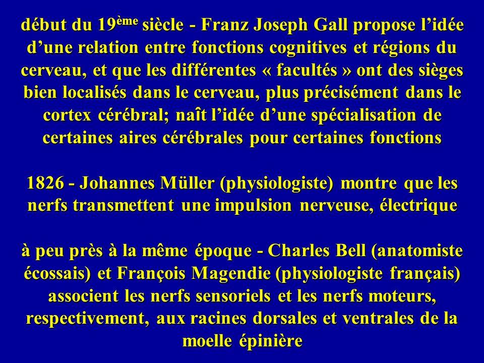 1838 - Müller affirme que le fait que le cerveau distingue entre un son et une lumière est lié à la localisation dans le cerveau où arrivent les impulsions 1854 - Louis Gratiolet propose la division du cerveau en 4 lobes 1861 - Broca (chirurgien et anthropologue français) examine le cerveau de monsieur Leborgne, qui avait une perte quasi complète du langage et constate que ce patient aphasique avait une lésion dans la partie postérieure du lobe temporal de lhémisphère gauche 1870 - Gustav Fritsch et Eduard Hitzig (médecins allemands) développent la même idée que Müller ci-dessus en ce qui concerne lorigine cérébrale des mouvements
