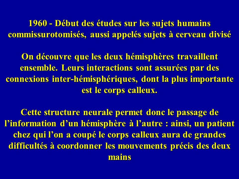 1960 - Début des études sur les sujets humains commissurotomisés, aussi appelés sujets à cerveau divisé On découvre que les deux hémisphères travaille