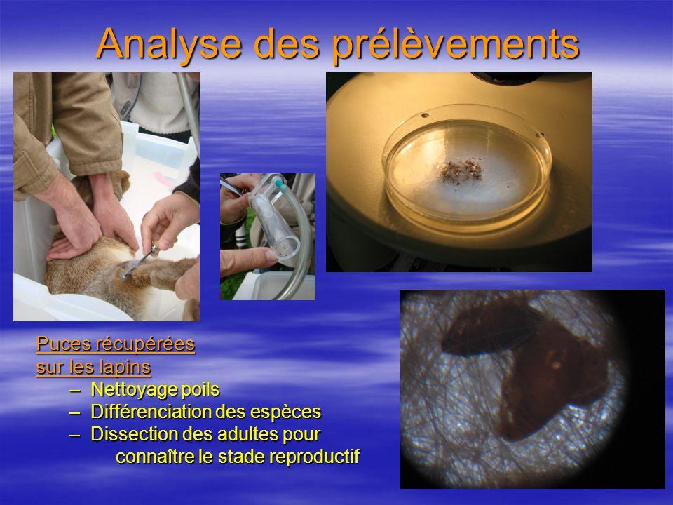 Analyse des prélèvements Puces récupérées sur les lapins –Nettoyage poils –Différenciation des espèces –Dissection des adultes pour connaître le stade