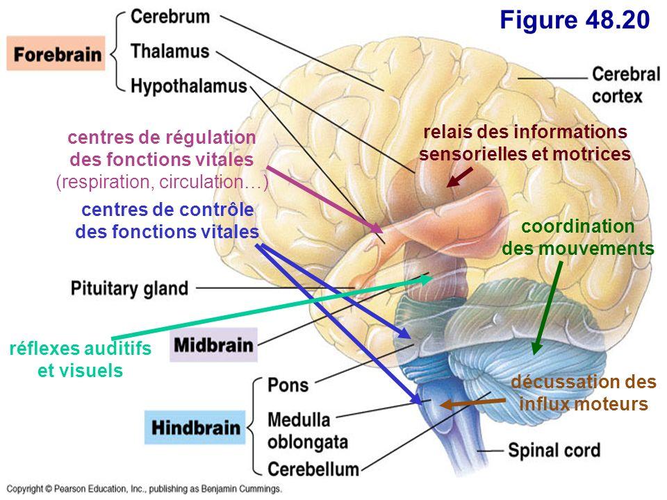 Figure 48.20 centres de contrôle des fonctions vitales centres de régulation des fonctions vitales (respiration, circulation…) coordination des mouvem