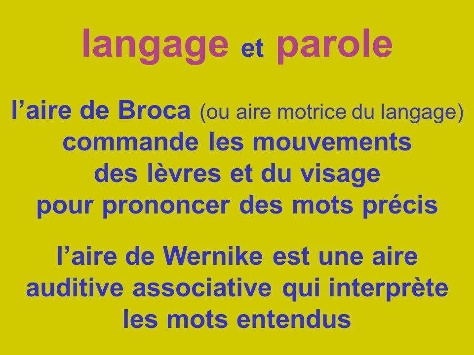 langage et parole laire de Broca (ou aire motrice du langage) commande les mouvements des lèvres et du visage pour prononcer des mots précis laire de