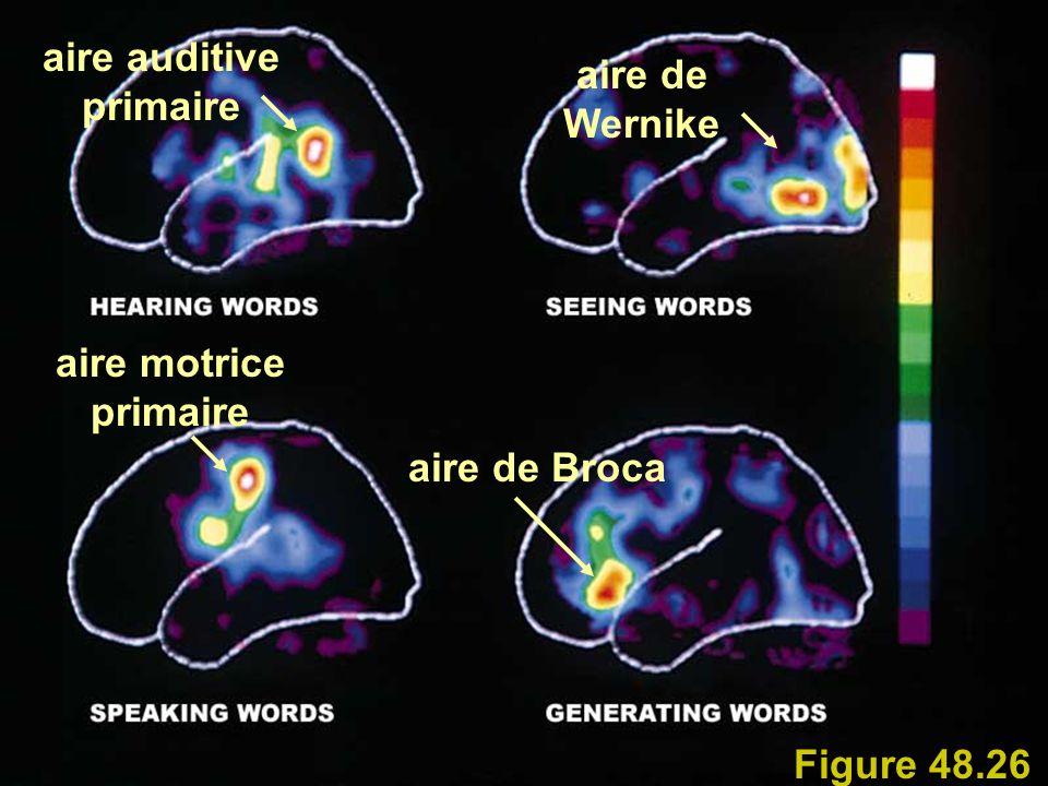 Figure 48.26 aire de Broca aire motrice primaire aire auditive primaire aire de Wernike