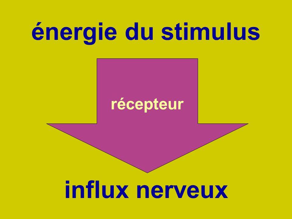 énergie du stimulus récepteur influx nerveux