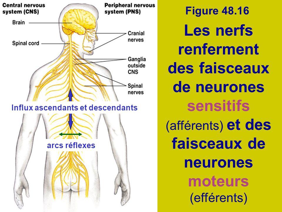 Figure 48.16 Les nerfs renferment des faisceaux de neurones sensitifs (afférents) et des faisceaux de neurones moteurs (efférents) Influx ascendants e