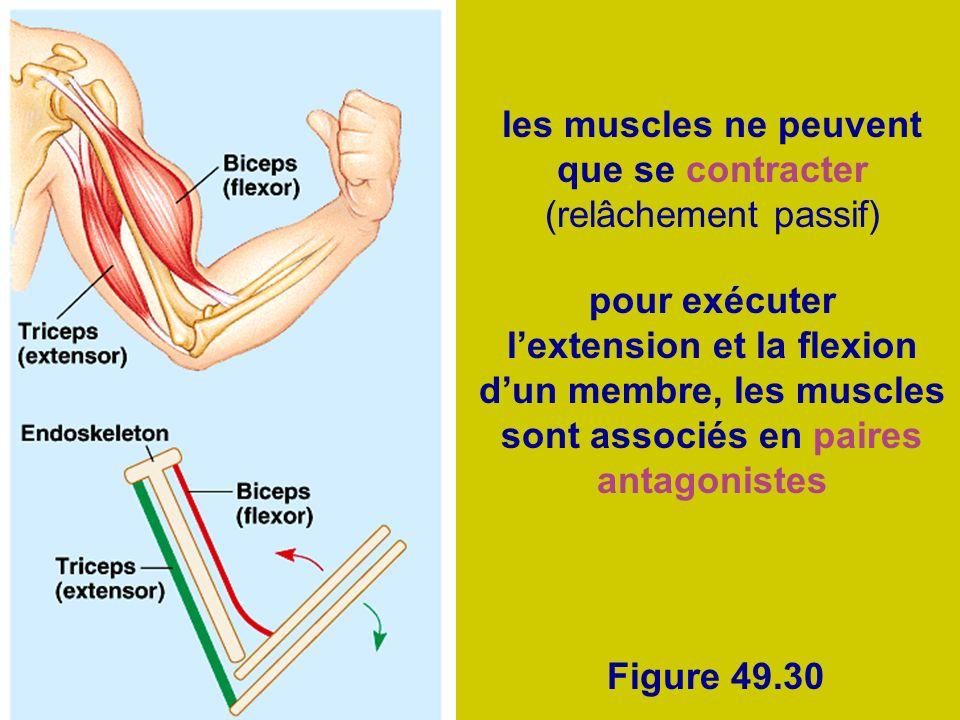 Figure 49.30 les muscles ne peuvent que se contracter (relâchement passif) pour exécuter lextension et la flexion dun membre, les muscles sont associé
