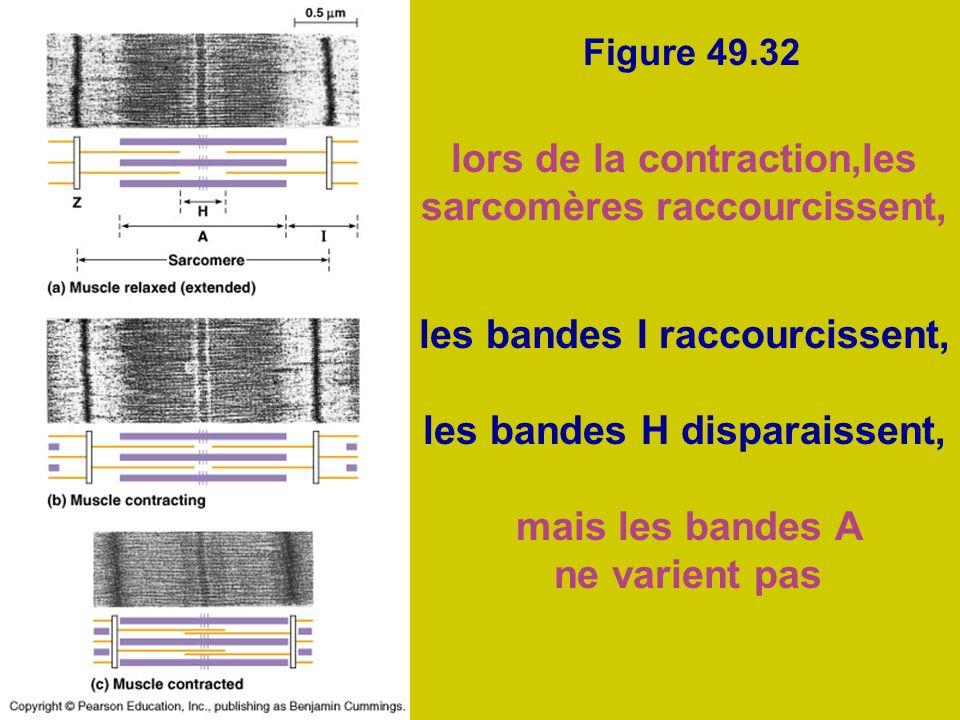 Figure 49.32 lors de la contraction,les sarcomères raccourcissent, les bandes I raccourcissent, les bandes H disparaissent, mais les bandes A ne varie