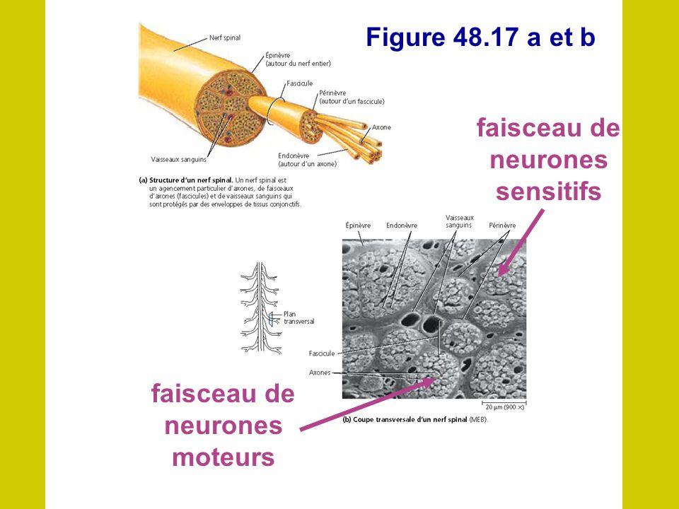 Figure dun nerf Les Figure 48.17 a et b faisceau de neurones sensitifs faisceau de neurones moteurs