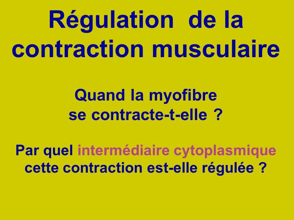Quand la myofibre se contracte-t-elle ? Par quel intermédiaire cytoplasmique cette contraction est-elle régulée ? Régulation de la contraction muscula