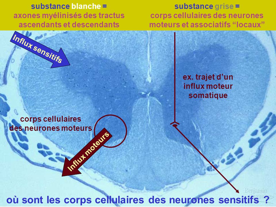 substance blanche = axones myélinisés des tractus ascendants et descendants substance grise = corps cellulaires des neurones moteurs et associatifs lo