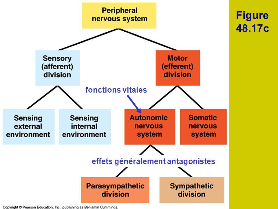 Figure 48.17c fonctions vitales effets généralement antagonistes