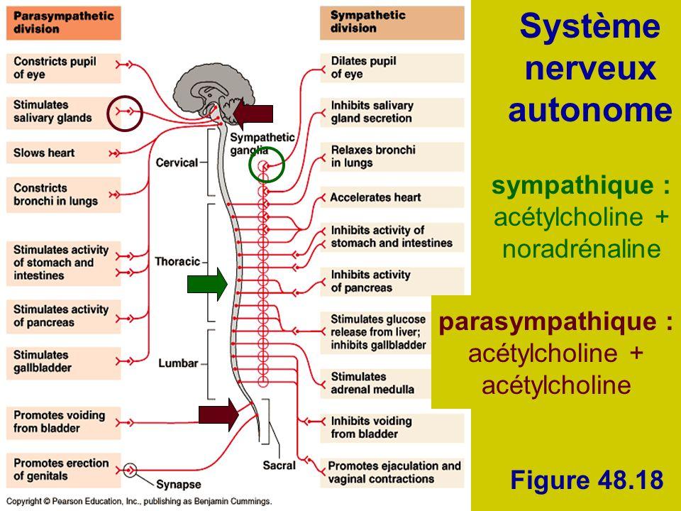 Figure 48.18 Système nerveux autonome sympathique : acétylcholine + noradrénaline parasympathique : acétylcholine + acétylcholine