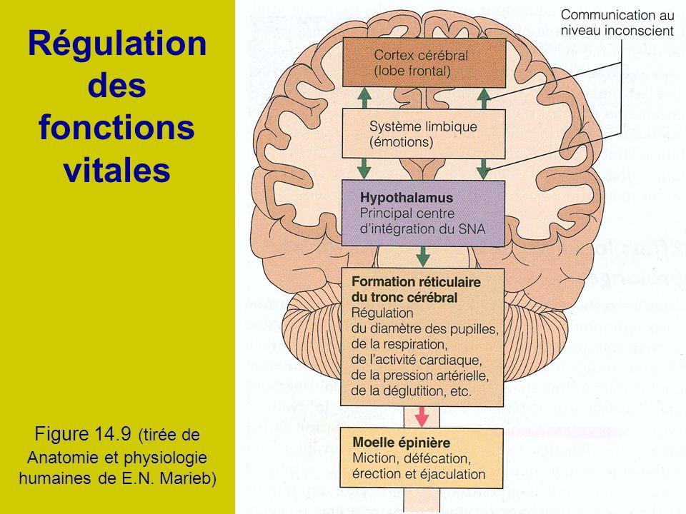 Régulation des fonctions vitales Figure 14.9 (tirée de Anatomie et physiologie humaines de E.N. Marieb)