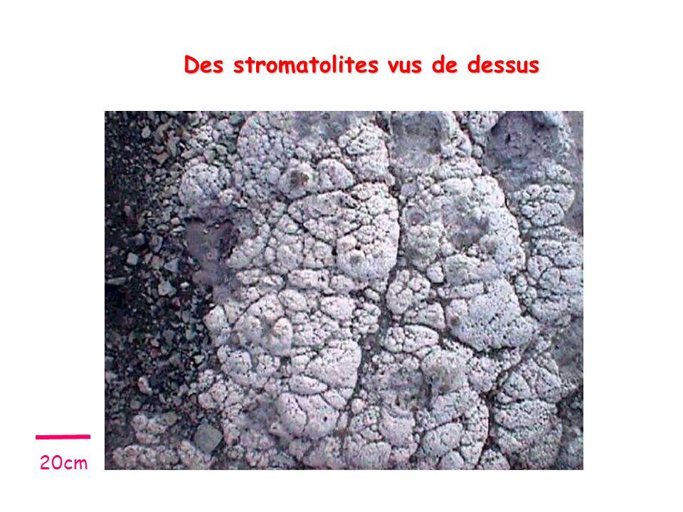 Des stromatolites vus de dessus 20cm