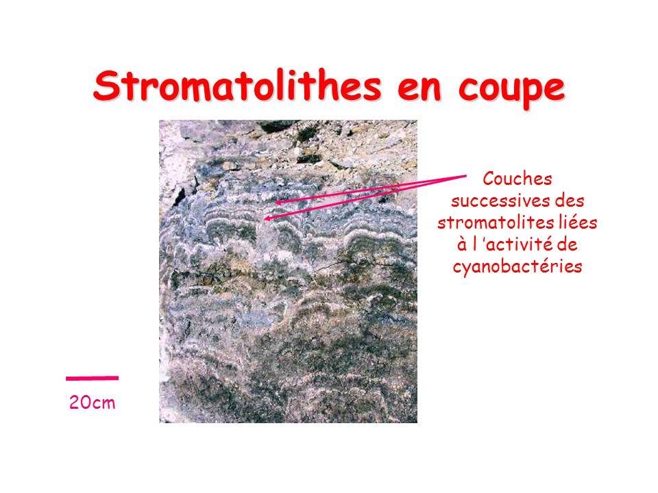 Stromatolithes en coupe Couches successives des stromatolites liées à l activité de cyanobactéries 20cm