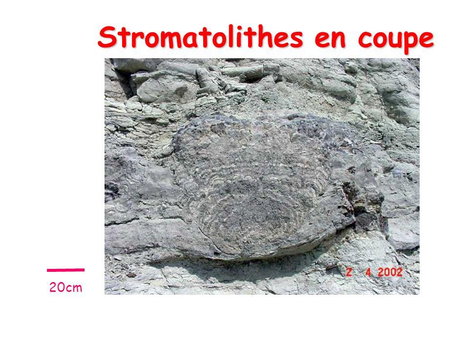 Stromatolithes en coupe 20cm