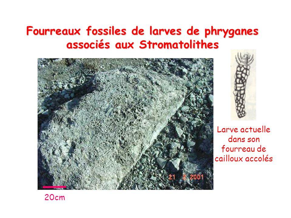 Fourreaux fossiles de larves de phryganes associés aux Stromatolithes Larve actuelle dans son fourreau de cailloux accolés 20cm