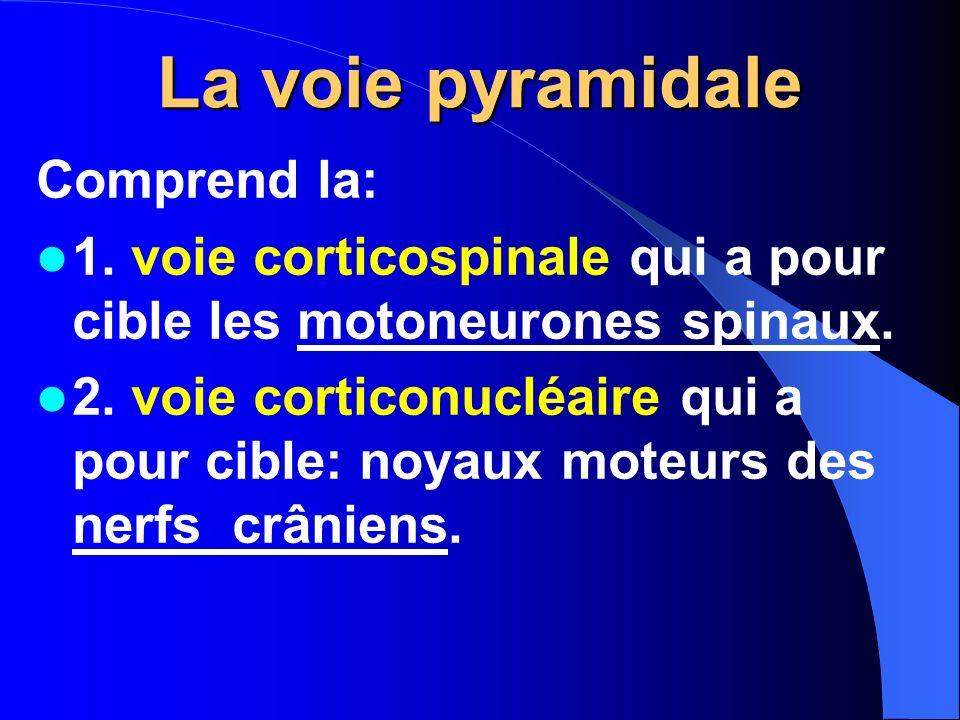 La voie pyramidale Comprend la: 1. voie corticospinale qui a pour cible les motoneurones spinaux. 2. voie corticonucléaire qui a pour cible: noyaux mo
