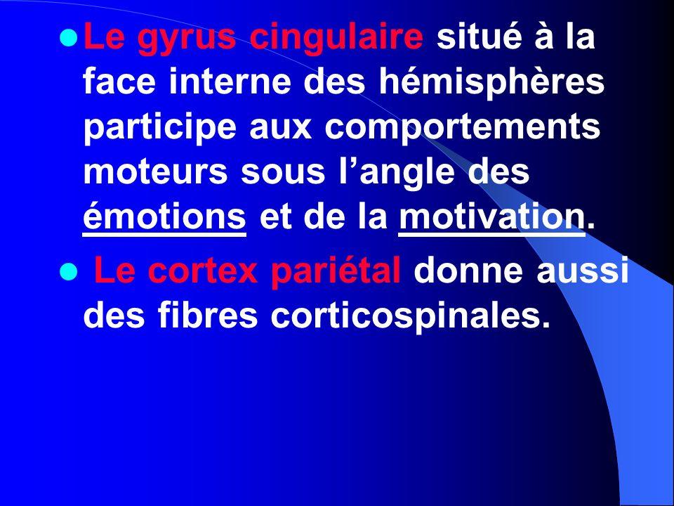 Le gyrus cingulaire situé à la face interne des hémisphères participe aux comportements moteurs sous langle des émotions et de la motivation. Le corte