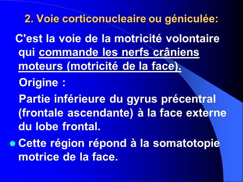 2. Voie corticonucleaire ou géniculée: C'est la voie de la motricité volontaire qui commande les nerfs crâniens moteurs (motricité de la face). Origin