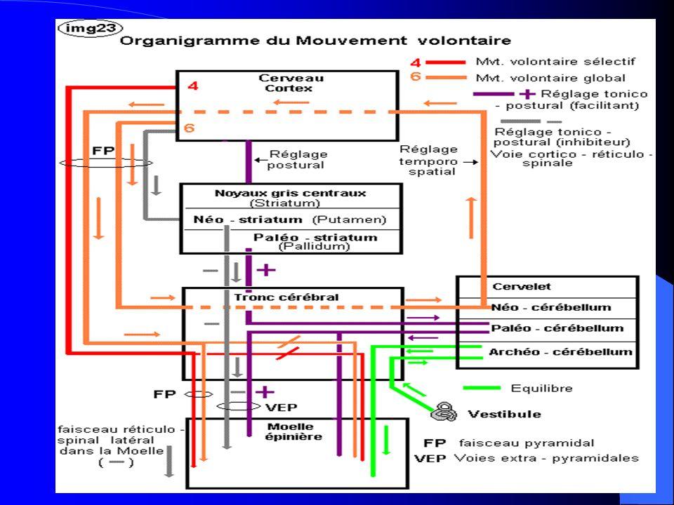 La pathologie suit cette organisation, on distingue deux grands cadres: Le syndrome pyramidal : hypertonie (neurone central) Le syndrome neurogène périphérique : (atrophie du muscle, amyotrophie, aréflexie)