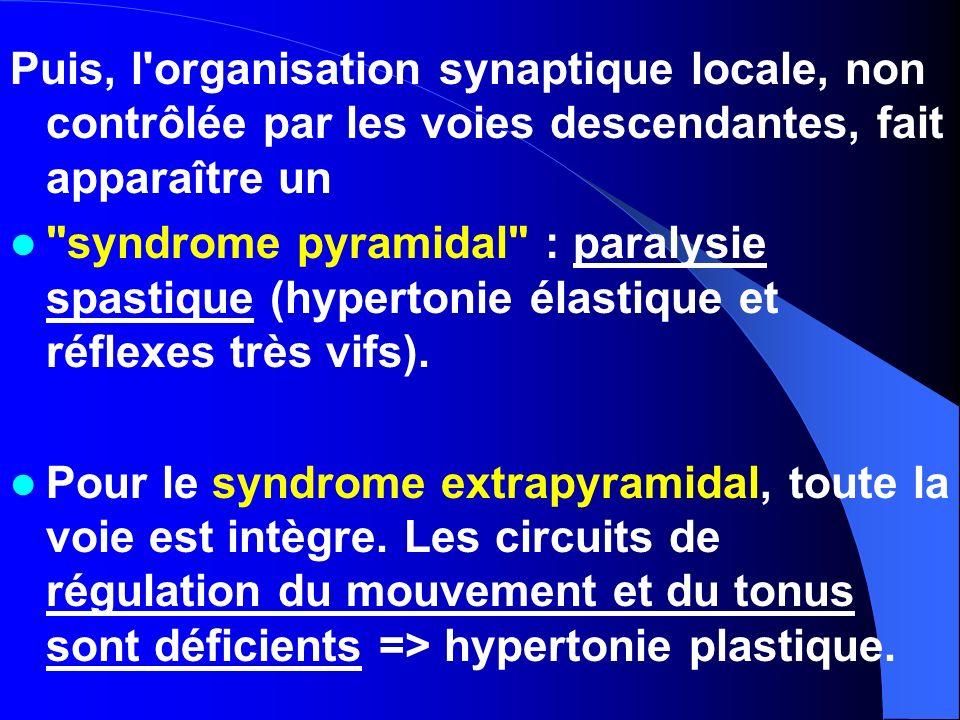 Puis, l'organisation synaptique locale, non contrôlée par les voies descendantes, fait apparaître un