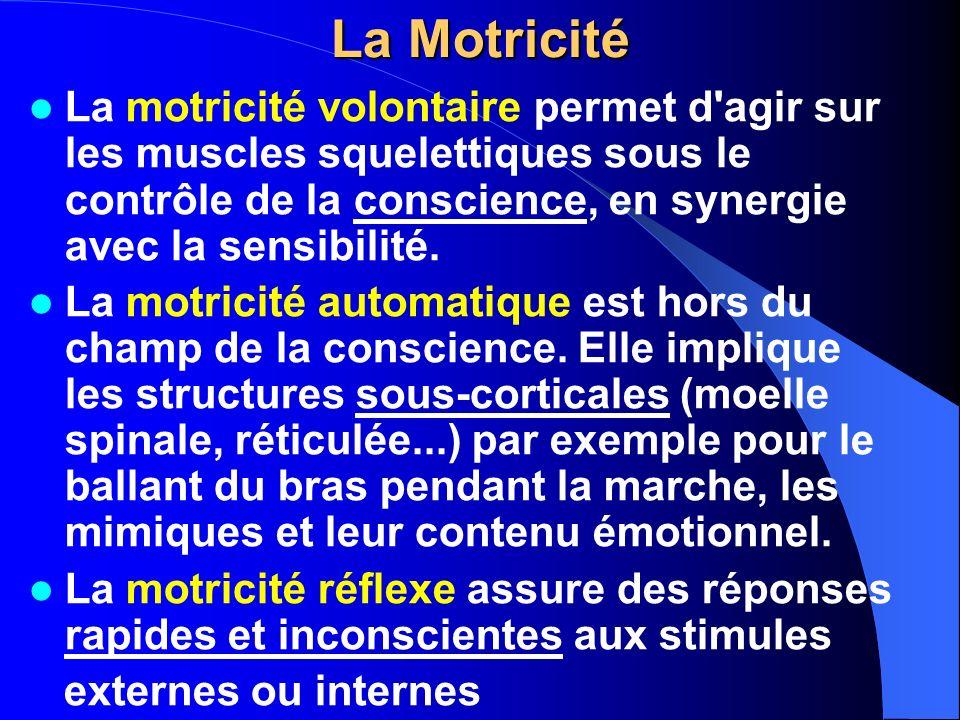 La Motricité La motricité volontaire permet d'agir sur les muscles squelettiques sous le contrôle de la conscience, en synergie avec la sensibilité. L