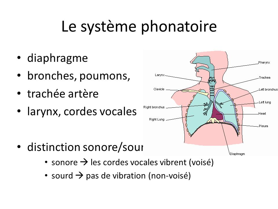 Le système phonatoire diaphragme bronches, poumons, trachée artère larynx, cordes vocales distinction sonore/sourd sonore les cordes vocales vibrent (