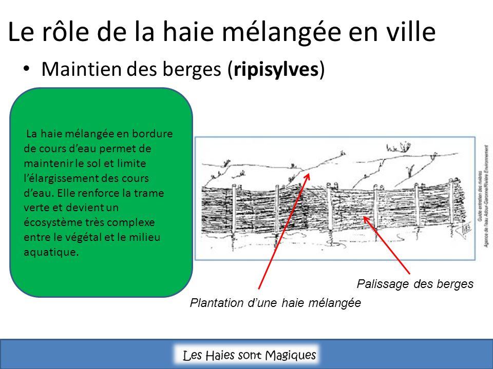 Maintien des berges (ripisylves) Le rôle de la haie mélangée en ville Palissage des berges Plantation dune haie mélangée La haie mélangée en bordure de cours deau permet de maintenir le sol et limite lélargissement des cours deau.