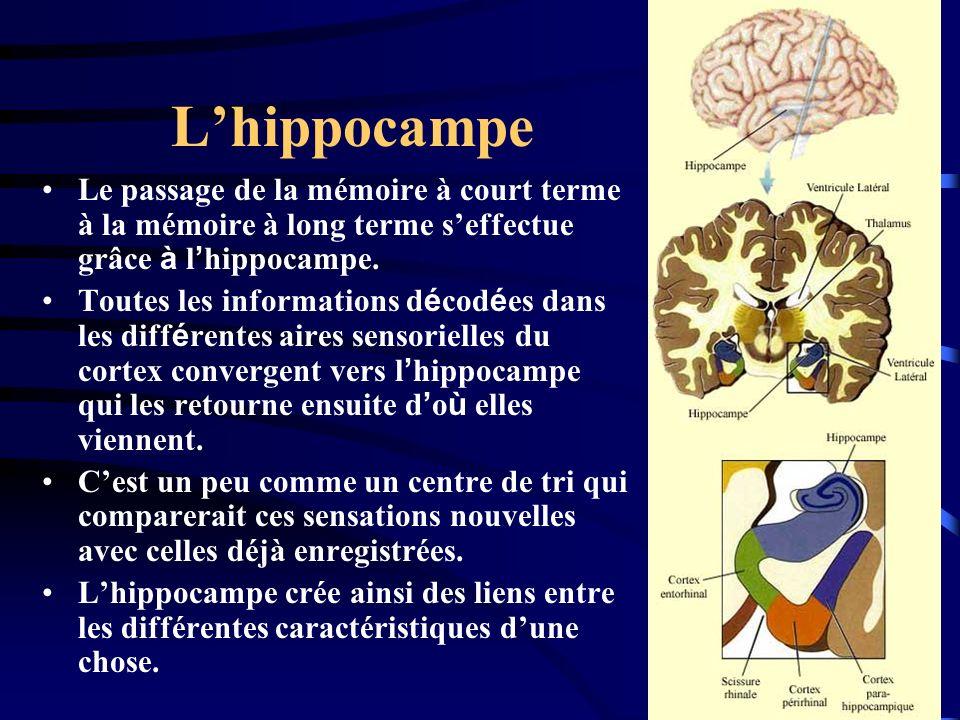 Le passage de la mémoire à court terme à la mémoire à long terme seffectue grâce à l hippocampe. Toutes les informations d é cod é es dans les diff é