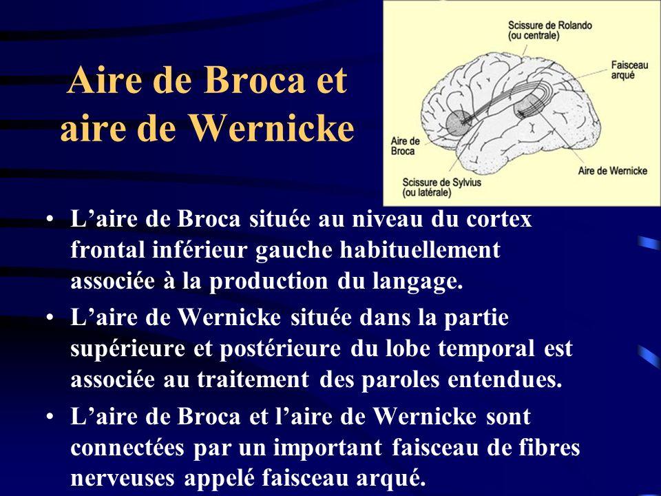 Aire de Broca et aire de Wernicke Laire de Broca située au niveau du cortex frontal inférieur gauche habituellement associée à la production du langag