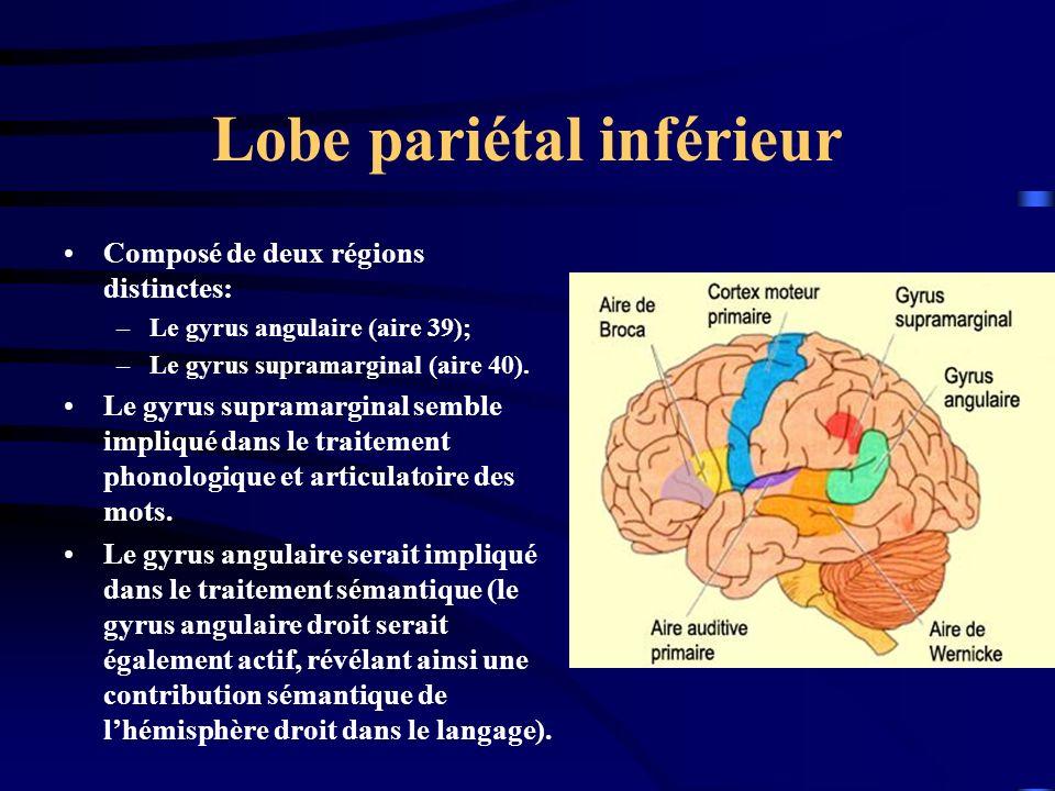 Lobe pariétal inférieur Composé de deux régions distinctes: –Le gyrus angulaire (aire 39); –Le gyrus supramarginal (aire 40). Le gyrus supramarginal s
