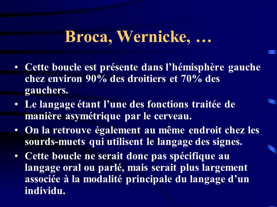Broca, Wernicke, … Cette boucle est présente dans lhémisphère gauche chez environ 90% des droitiers et 70% des gauchers. Le langage étant lune des fon