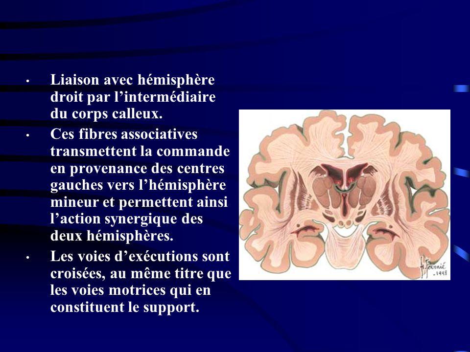 Liaison avec hémisphère droit par lintermédiaire du corps calleux. Ces fibres associatives transmettent la commande en provenance des centres gauches